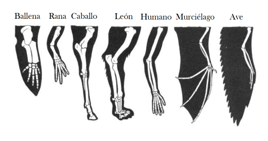 forelimbs